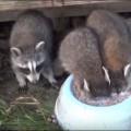 racoon-milk