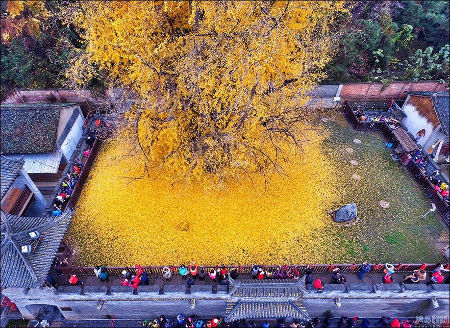 Золотая листва 1400-летнего дерева Гинкго (5 фото)