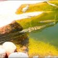 croc (2)