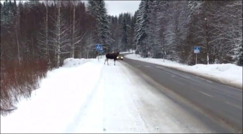 Лось, который знает правила дорожного движения
