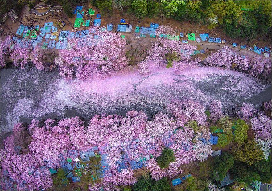 16 волшебных фотографий цветения сакуры в Японии
