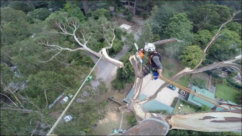 Спил 40-метрового дерева