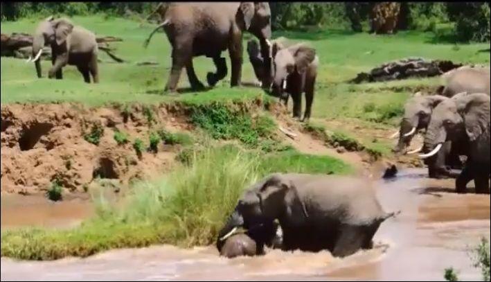 Течение уносит слоненка, но мама приходит на помощь