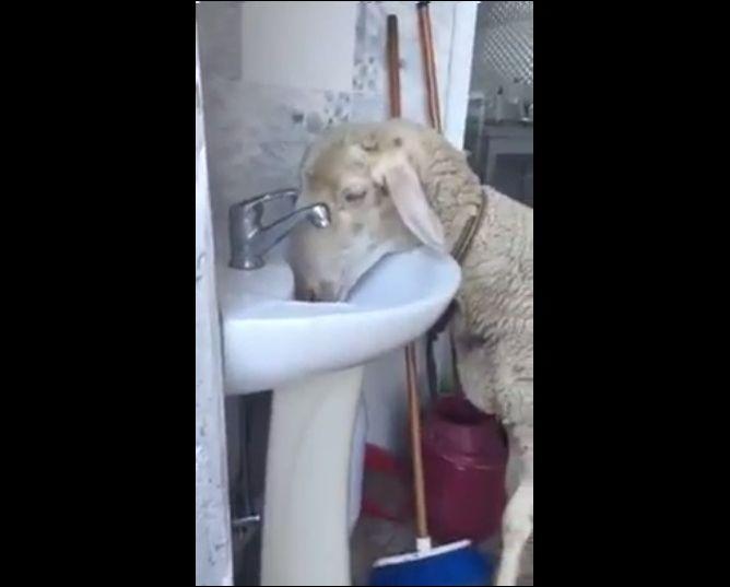 Овечка научилась открывать водопроводный кран