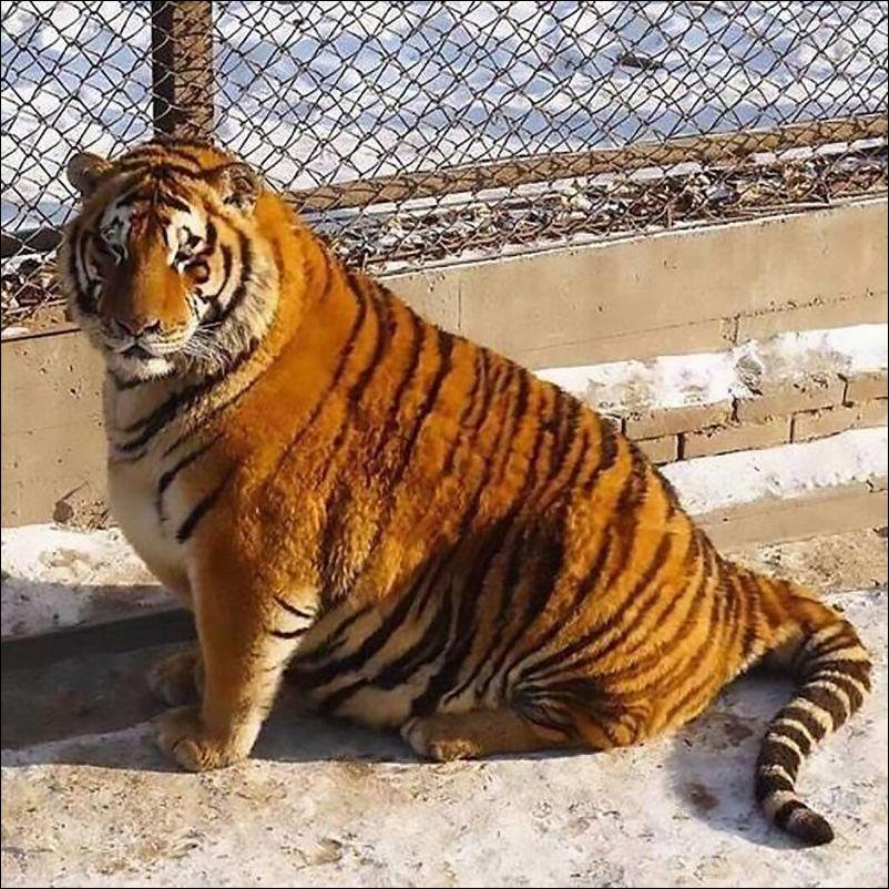 fat-tiger-003