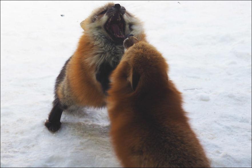 fox-village-001