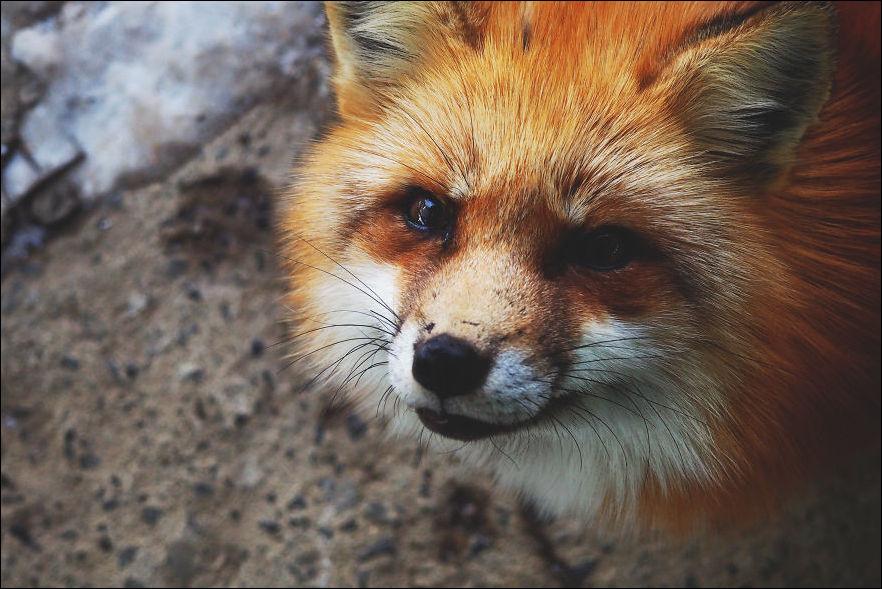 fox-village-002