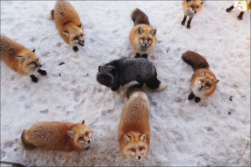 fox-village-010