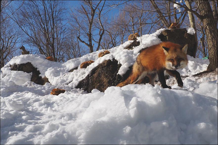 fox-village-012